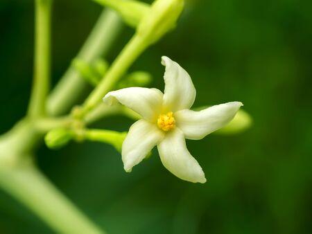 papaya flower: Papaya flower on tree