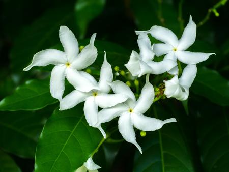 jasmine bush: Gardenia jasminoides flower in the dark background.