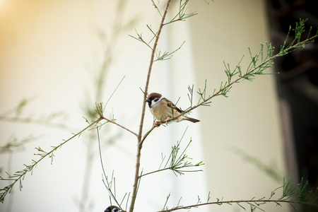 siluetas: Eurasian Tree Sparrow on the branch.
