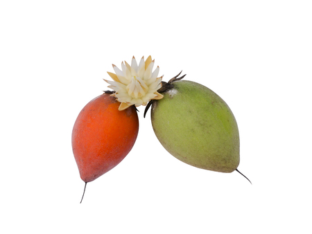 anal: Fruit and flower of Bullet wood (Mimusops elengi L.)