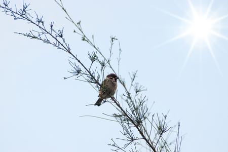 siluetas: Eurasian Tree Sparrow on the branch with sun. Stock Photo