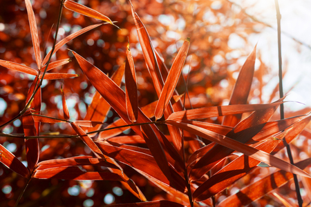 grass border: Bamboo leaves in autumn with sunlight.