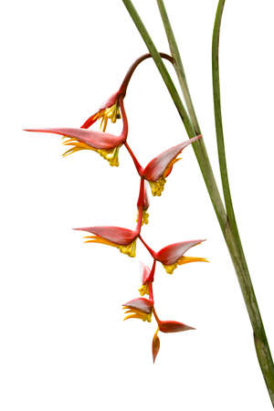 heliconiaceae: Beautiful Heliconia blooming in the garden. Stock Photo