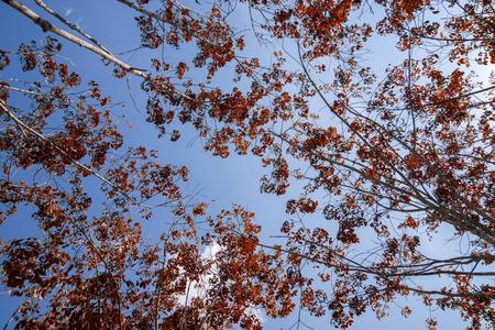 deciduous: Rubber trees are deciduous
