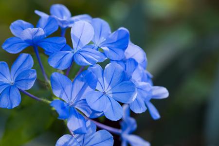 tropical shrub: Blue flower of Cape leadwort in the garden. Stock Photo