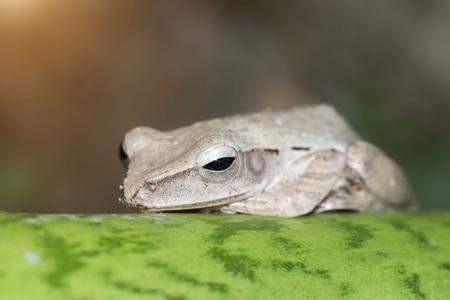 anuran: Grey frog sleeping on green leaf.