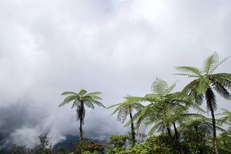 tropical native fern: Clouds on the mountain and black tree fern. (Cyathea medullaris)