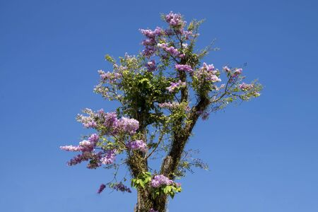 myrtle green: Pink flower of Lagerstroemia loudonii Teijsm tree with blue sky. Stock Photo