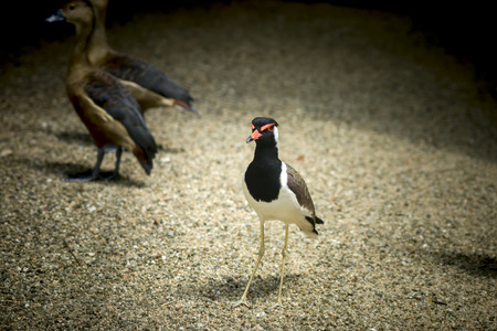 lapwing: Red - wattled lapwing. (Scientific name - Vanellus indicus)