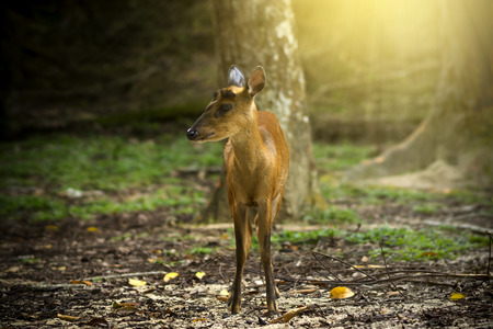 barking: Muntiacus muntjak or feas barking deer or so called feas muntjac with light.