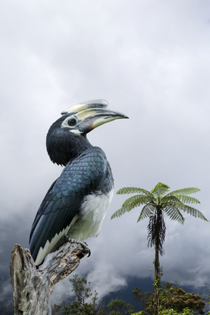 strikingly: Oriental pied hornbill. (Scientific name - Anthracoceros albirostris)