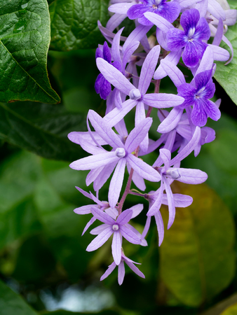 petrea: Petrea Flowers on the tree. (Queens Wreath, Sandpaper Vine, Purple Wreath) Scientific name: Petrea volubilis, Petrea kohautiana.