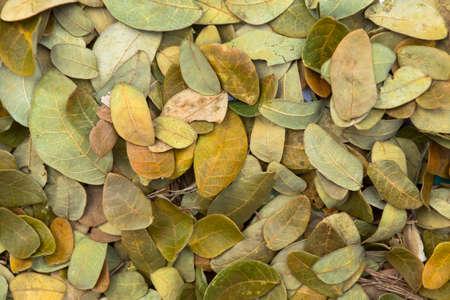 hojas secas: Las hojas secas del árbol de lluvia para su uso como fertilizante. Foto de archivo