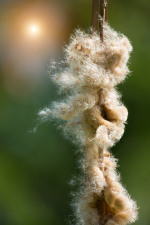 bullrush: Typha angustifolia seeds on tree.