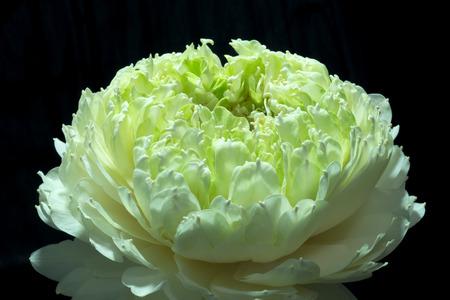 nelumbo: Close up of green lotus flower. (Scientific name nelumbo nueifera gaertn)