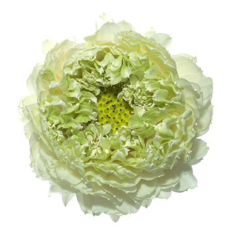 nelumbo: Green lotus flower.  (Scientific name nelumbo nueifera gaertn)