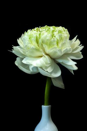 Green lotus flower magnolia lotus album plenum scientific green lotus flower magnolia lotus album plenum scientific name nelumbo nueifera mightylinksfo