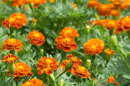 marigolds: french marigolds flower