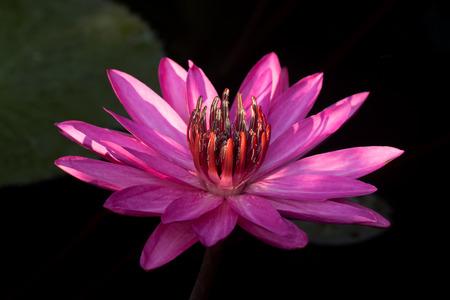 waterlily: Pink Waterlily in garden pond.