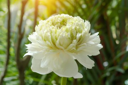 nelumbo: Green lotus flower. - magnolia lotus, album plenum. (Scientific name nelumbo nueifera gaertn)