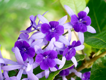 petrea volubilis: Petrea Flowers on the tree. (Queens Wreath, Sandpaper Vine, Purple Wreath) Scientific name: Petrea volubilis, Petrea kohautiana.