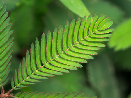 sensitive: Sensitive plant and water drop ( mimosa pudica )