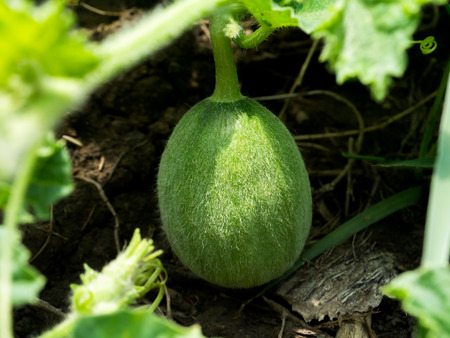villus: Flower of Organic agriculture, Melon fruit is growing in the farm. Stock Photo