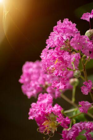 myrtle green: Pink flower of Crape myrtle.