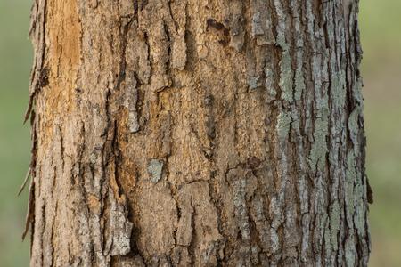 caoba: corteza de los árboles de caoba. Foto de archivo