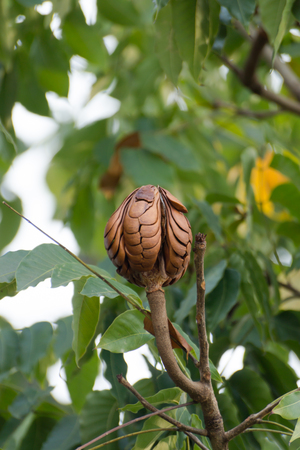 broad leaf: Broad Leaf Mahogany, False Mahogany (Swietenia macrophylla King) seeds on tree.