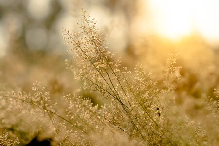 wild grass: wild grass in sunset counterlight Stock Photo