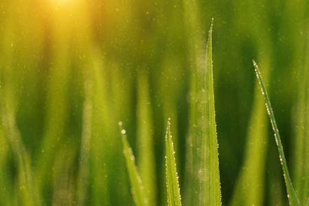 rainfall: Rice plant in rice field with rainfall. Un-focus image. Stock Photo