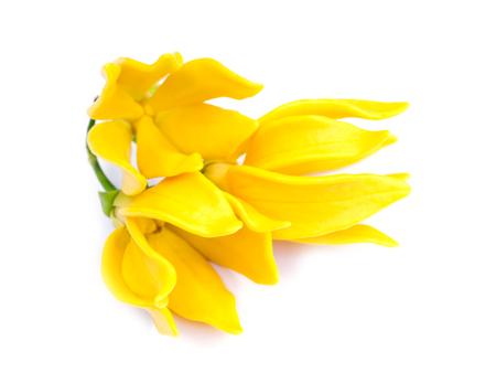 fragrant flowers of climbing ylang-ylang, climbing ilang-ilang, manorangini, hara-champa or kantali champa