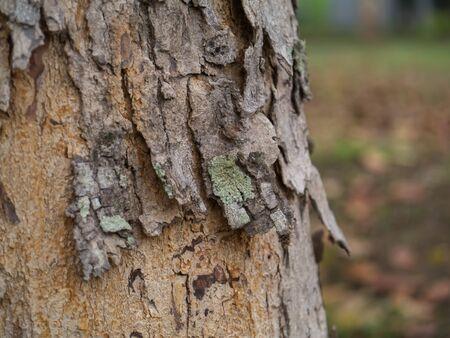 caoba: la corteza de caoba de hoja ancha