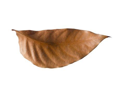 caoba: caoba de hoja en el fondo blanco