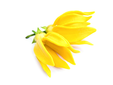 tropical plant: fragrant flowers of climbing ylang-ylang, climbing ilang-ilang, manorangini, hara-champa or kantali champa