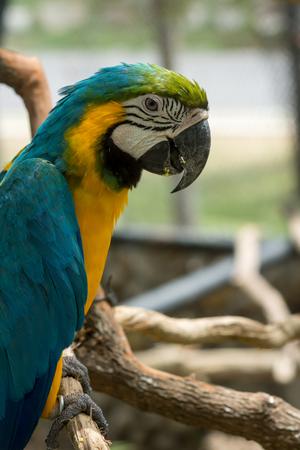 parot: Blue yellow parrot macaw. Stock Photo
