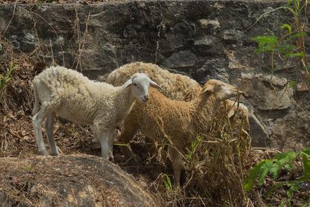 ovis: Domestic sheep, Ovis aries, Lamb in field,