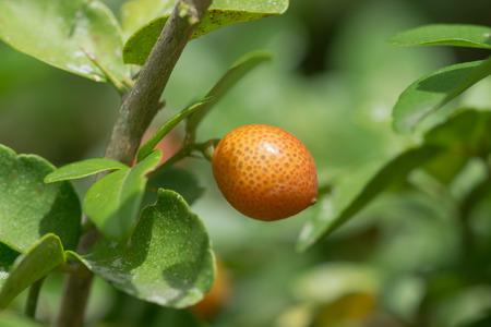 super fruit: Super fruit on tree., Scientific name Carissa carandas Linn.