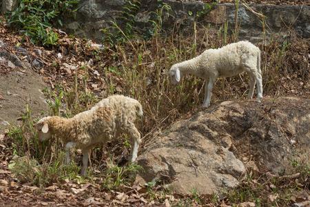 herbivore: Domestic sheep, Ovis aries, Lamb in field,