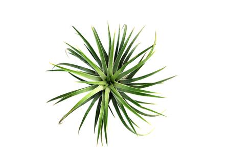 Tillandsia Verde. (Planta De Aire Con El Nombre Científico ...