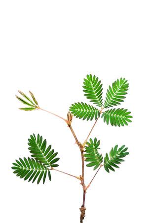sensitive: Sensitive plant on white background. (mimosa pudica plant)