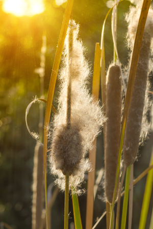 bullrush: Typha angustifolia seeds on tree with sunlight in sunset time.