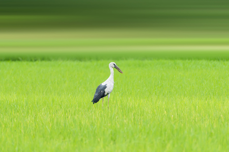 anastomus: Asian openbill stork perched bird in the field. Stock Photo