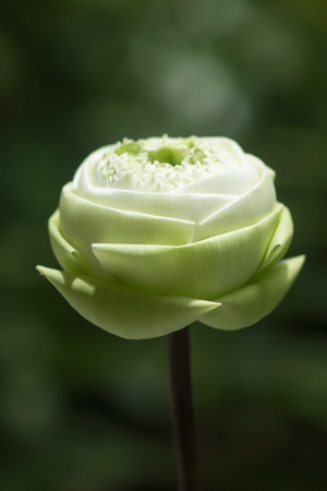 effloresce: Decorative white lotus flower in thai style. Idea: soft focus image and use for background.