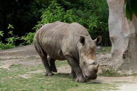 nakuru: Watercolor image of rhinoceros (Ceratotherium simum) are walking. Stock Photo