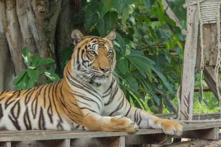 portrait of a bengal tiger. Stock Photo