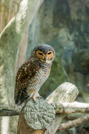 spotted: Close up of beautiful spotted wood owl. (Strix seloputo) Stock Photo