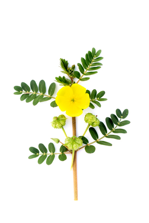 white backgroung: Tribulus terrestris plant with flower and leaf on white backgroung.