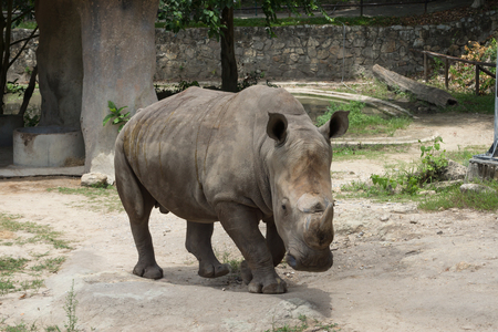 nakuru: White rhinoceros or square-lipped rhinoceros (Ceratotherium simum) in the park, Thailand.